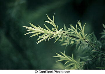 Golden Bottle Brush, River Tea Tree, Black Tea tree, Prickly...