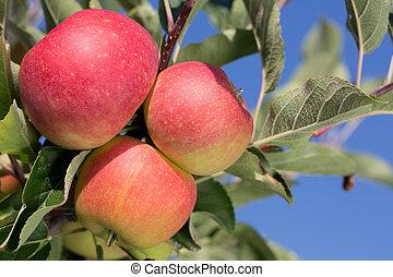 Ripe apples on an apple tree