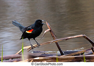 Screeching Blackbird - The red winged blackbird precariously...