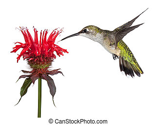 Hummingbird and Monarda - Hovering over a crown of red, a...