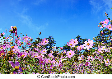 The Cosmos Flower with nice sky blue