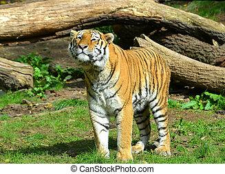 Tiger - Siberian Tiger