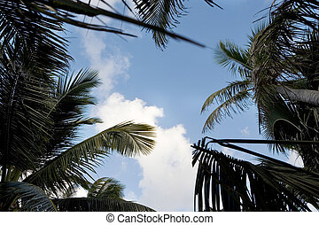 Up thru the Palms - A view of late afternoon skies through...