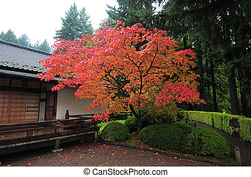 japan fall color - a tree with fall color with japanese...