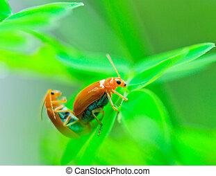 insecto, tortuga, dorado, tortuga, escarabajo, escarabajos