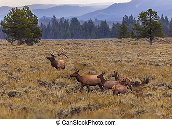 Adult Male Elk and his herd - Grand Tetons - Elk (Cervus...