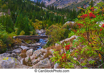 Mountain Ash and foot bridge on the Cascade Canyon hiking...
