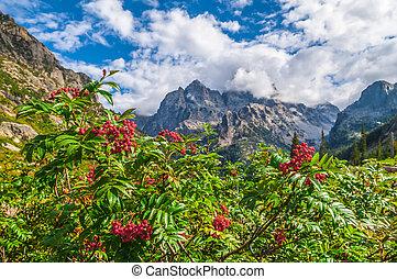 Mountain Ash growing near the hiking trail - Cascade Canyon...