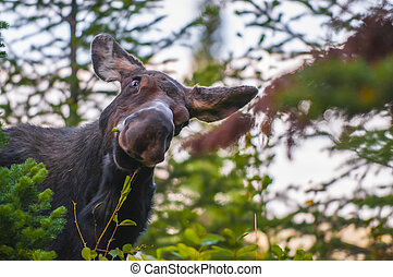 Funny looking Young Moose - The funniest facial expresion -...