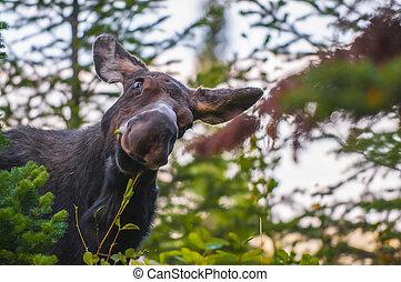 rolig, se, ung, Moose