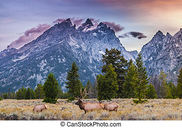 Adult Male Elk and his herd - Grand Tetons - Elk Cervus...