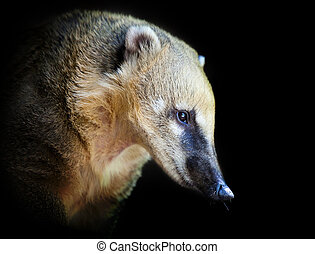 South American coati (Nasua nasua) - portrait of a very cute...