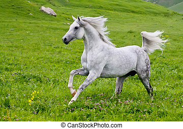 Gray Arab horse gallops on a green meadow
