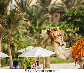 camel on the beach in Dubai
