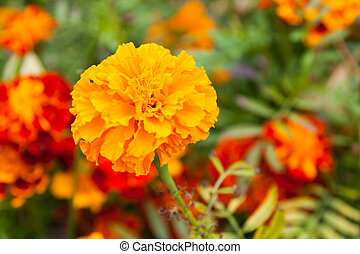 Close-up of  tagetes flower