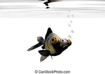 BLACK GOLDFISH - A google-eyed goldfish stares out from his...