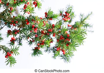 Red yew tree - Yew tree branch against white background