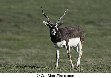 Blackbuck, Antilope cervicapra, single male on grass