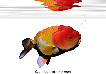 LION-HEAD GOLDFISH - Peculiar face on this aquarium...