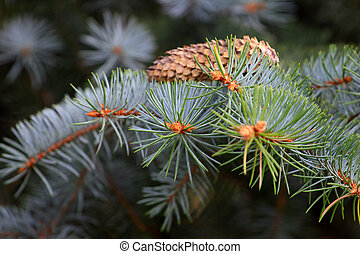 pine branch - sunshine pine branch as part spruce wood
