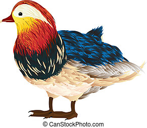 Mandarin duck - Little mandarin duck drawing over white...