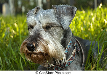 Miniature schnauzer resting in sunshine - A salt and pepper...