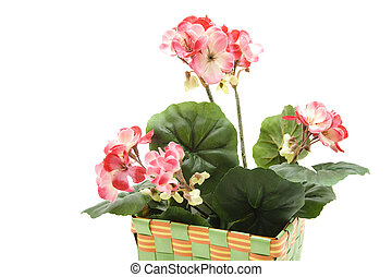 Geranium in the basket on white background