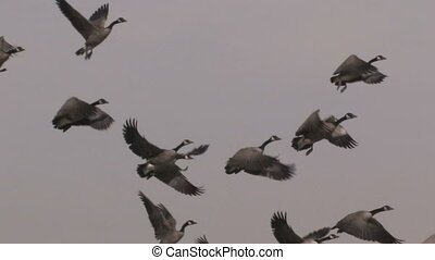 Flock of Geese - A flock of geese fill the sky at dusk (with...