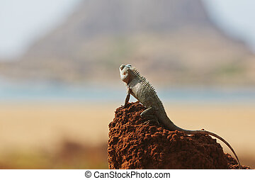 Chameleon in Yala National Park in Sri Lanka