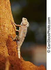 Chameleon on the tree - Sri Lanka