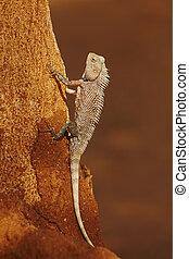 Chameleon on the tree - Sri Lanka