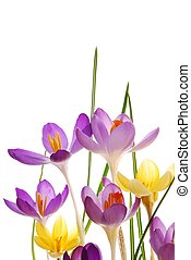 Spring crocuses in vibrant colors - Close-up of violet and...