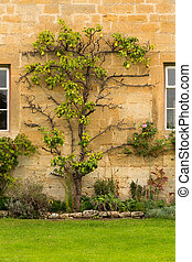 Old houses in Cotswold district of England - Espalier pear...