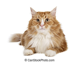 Siberian cat (Bukhara cat) on a white background in studio