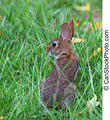 staring rabbit - Brown cottontail rabbit that is eyeing the...