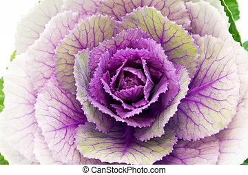 single flower of violet brassica oleracea - close up