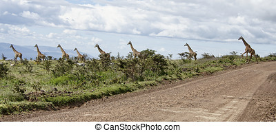 Giraffes Lake Nakuru, Kenya - Kenya, Lake Nakuru National...
