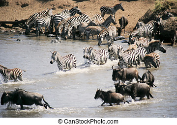 Serengeti National Park Migration - Africa, Tanzania,...