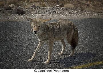 Coyote - Death Valley Coyote