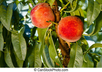 Peaches - 2 ripe peaches hanging on tree branch in orchard