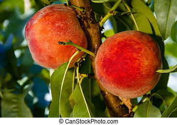 Peaches - Close up of 2 ripe peaches hanging on tree branch...