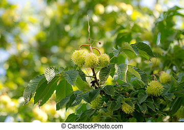 chestnut tree with fruits in nature