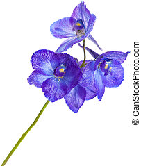 delphinium - dark blue delphinium flower isolated on white