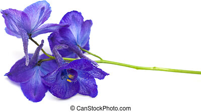 delphinium - dark blue delphinium flower isolated on white