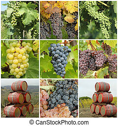bunch of grapes  and wine barrels -  collage