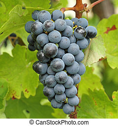 closeup of ripe hanging bunch of red wine grapes , region of...