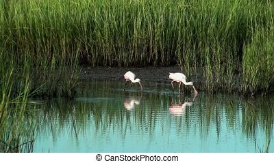 Spoonbills walking