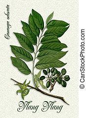 Botanical illustration of Ylang Ylang a fragrant flower used...