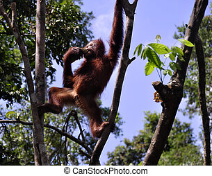 Wild orangutans at National Park - Wild orangutan eating...