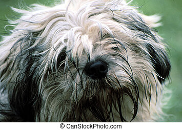 Lhasa Apso (Yatzu) G-1640 - Lhasa apso after a day of...